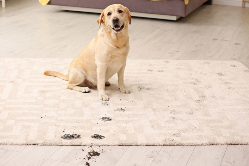 Dog on the dirty carpet